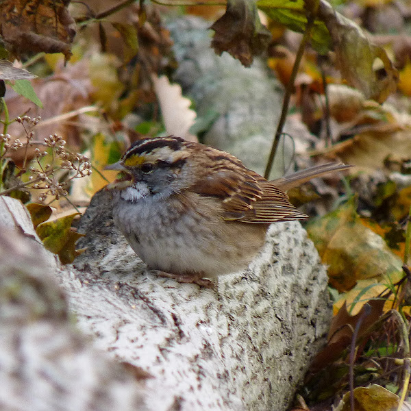 Photo: White-throated Sparrow