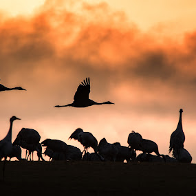 Silhouette of cranes in sunrise  by Mats Andersson - Animals Birds ( clouds, red, cranes, red sky, silhouette, sunrise,  )