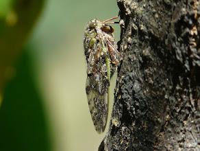 Photo: Eine Zikade