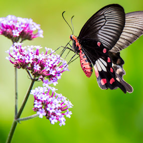 Butterfly by Gurung Purna - Animals Insects & Spiders ( colour, butterfly, beautiful, flower,  )