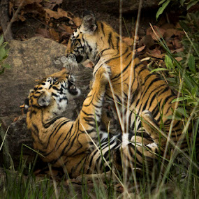 Games Tigers Play! by Ajay Sood - Animals Other Mammals ( bandhavgarh, wild, games, playful, tiger, jungle, play, wildlife, photo images from india, travelure, tigers )