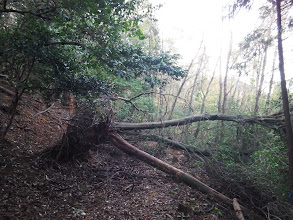 ここにも倒木