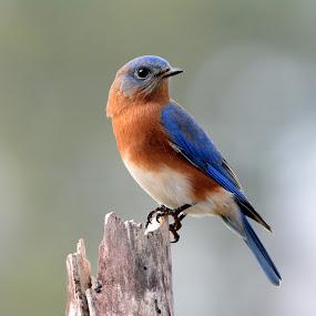 Eastern Bluebird by Steven Liffmann - Animals Birds ( bird, wildlife, bokeh, closeup, portrait, eastern bluebird,  )
