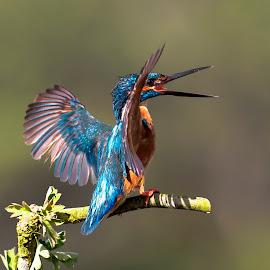 by Pedro Varão - Animals Birds