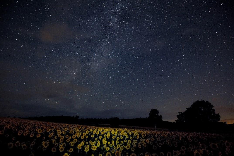 満点の星の下に満開のヒマワリ