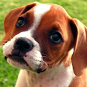 boxer puppy wallpapers icon