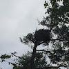 Eagles (nest)