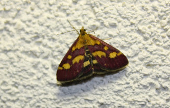 Photo: Pyrausta purpuralis     Lepidoptera > Crambidae