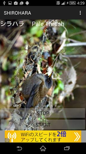 鳥鳴き声シロハラ
