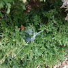 Spider web in shrub