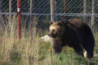 Photo: Brown bear at the zoo