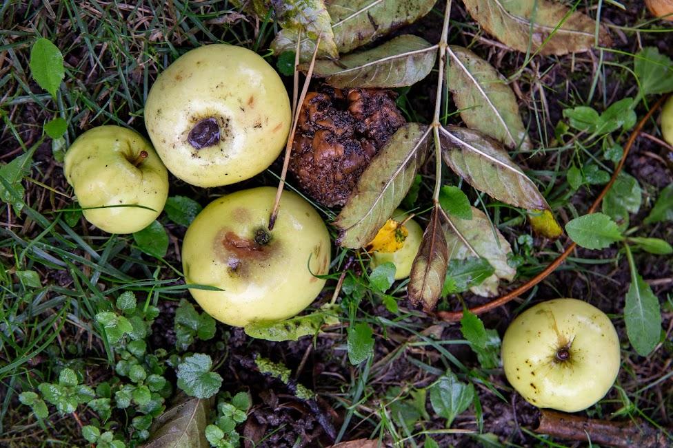 Siedlisko Leluja, jabłka