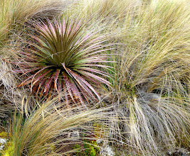 Photo: Plants characteristic of the páramo, the high altitude moors of the Andes