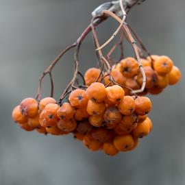 by Keith Sutherland - Nature Up Close Trees & Bushes ( orange, nature, orange berries, natural )