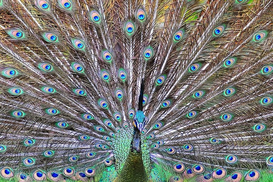 Show Off by Ifandi Yoo - Animals Birds