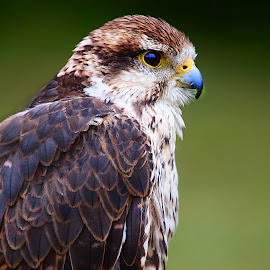 Falco by Gérard CHATENET - Animals Birds