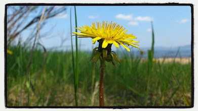 Photo: Dandelion by the beach.