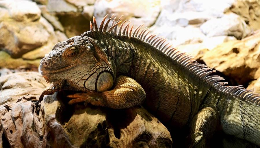 Iguana by Rajib Banik - Animals Reptiles ( iguana )
