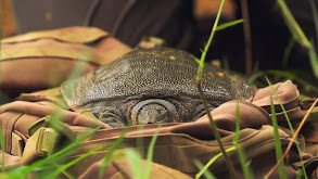 The Hidden Turtle of Vietnam thumbnail