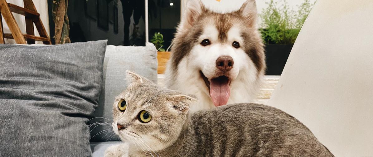 siberian husky with a cat