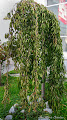 "Photo: Cires pendul (Prunus Avium ""Pendulla"") )  - Picasa13 - I.L.T. - A.M.C. - din Piata 1 Decembrie 1918 - spatiul verde - 2014.10.12 album http://ana-maria-catalina.blogspot.ro/2016/04/salcie-capreasca-salix-caprea-pendulla.html"