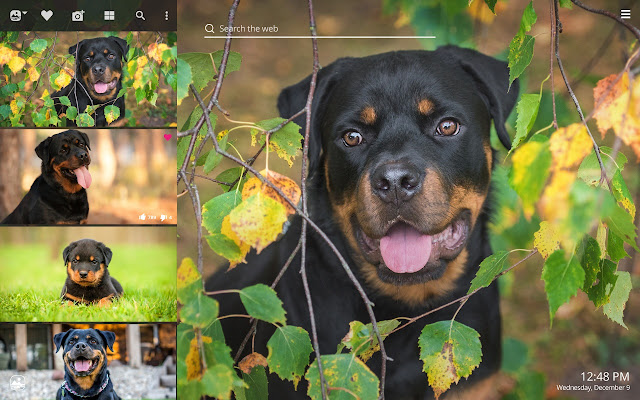 My Rottweiler Hd Wallpapers New Tab Theme