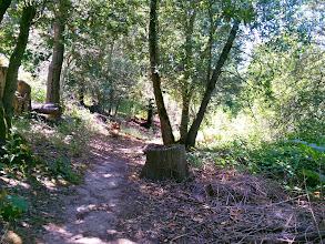 Photo: More eucalyptus stumps