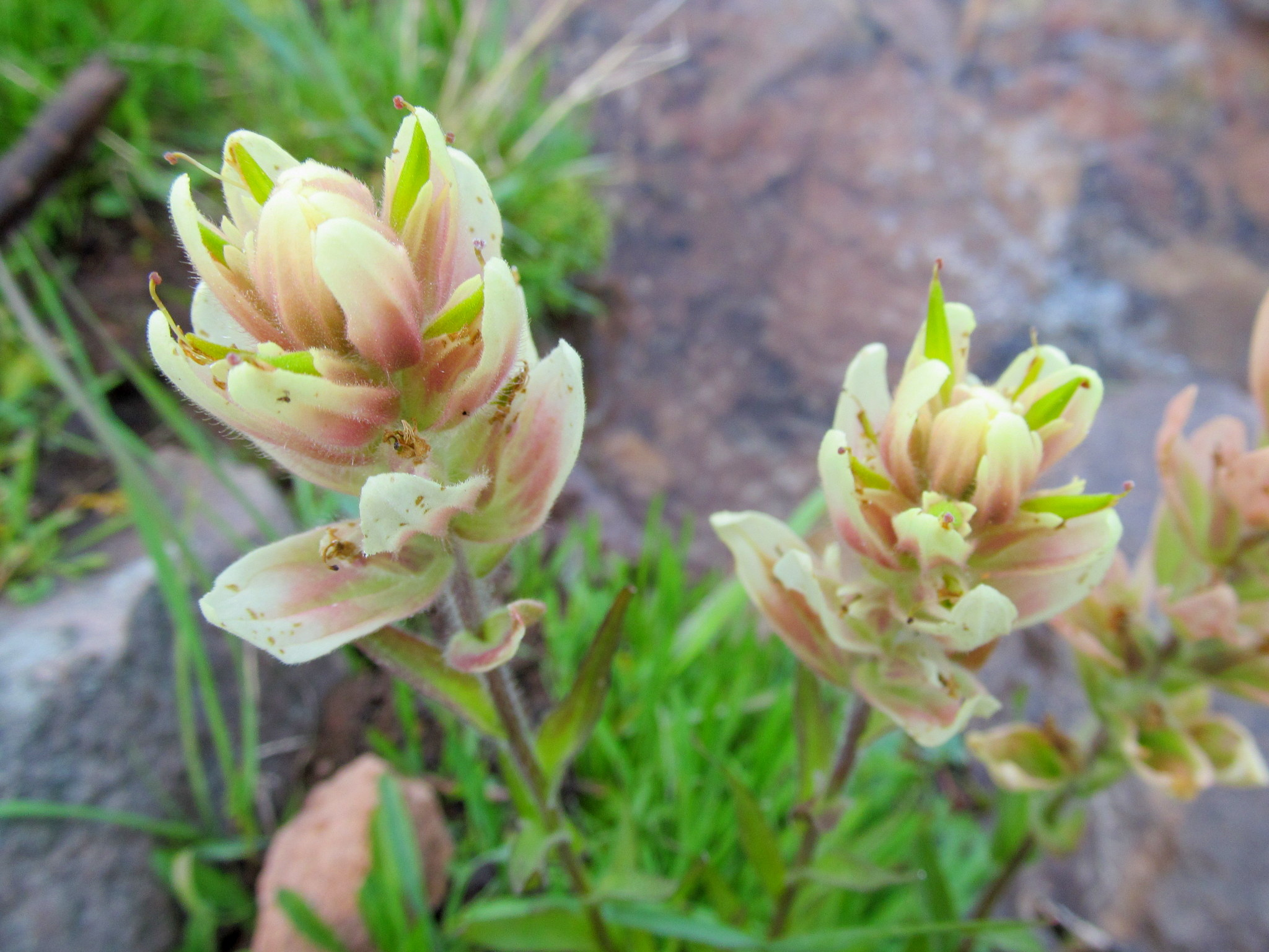 Photo: Very pale Indian Paintbrush