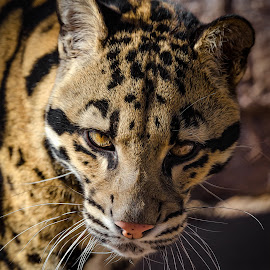 Clouded Leopard by Dave Lipchen - Animals Lions, Tigers & Big Cats ( clouded leopard )