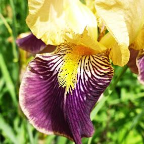 Yellow and Purple by Nikki Scott - Nature Up Close Flowers - 2011-2013 ( purple, yellow, garden, flower )