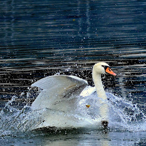 Play swan by Neli Dan - Animals Birds ( moods, colorful, play, happiness, vibrant, water splashes, inspiration, shapes geometric patterns, january, emotions, swan, dance, mood factory )