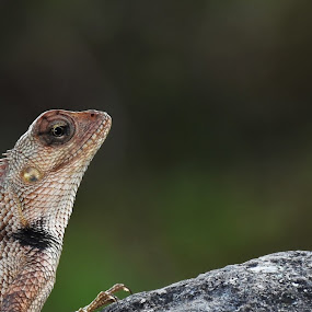 Lizard with golden ring by Rahul Trivedi - Animals Reptiles ( lizard, golden_ring, rock, reptile, eyes )