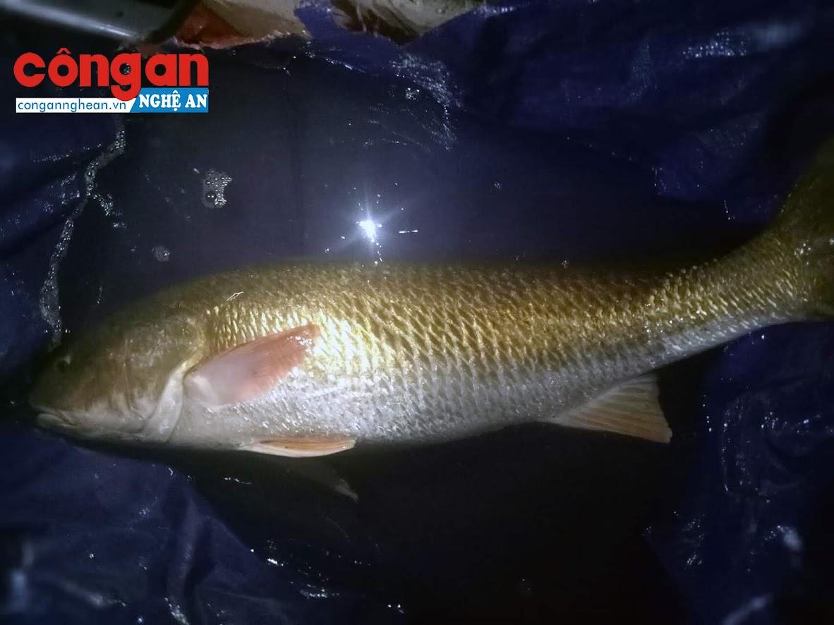 Toàn thân cá đều có màu vàng óng