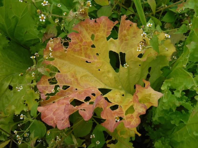 山東菜、虫食いと紅葉と、なんだか素敵でした。