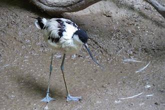 Photo: Säbelschnäbler (Recurvirostra avosetta) Verbreitungsgebiet: Europa, Asien, Afrika