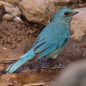 Verditer Flycatcher by Ashay Kakde - Animals Birds ( pond, verditer, verditer flycatcher, flycatcher, bird, animals, water, wildlife )
