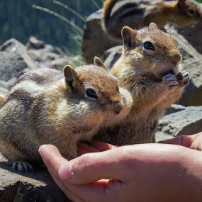 Theodore and Simon by Paul Cushing - Animals Other Mammals ( chipmunks )