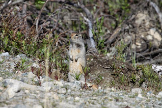 Photo: Anni Lake Road. Arctic Ground Squirrel