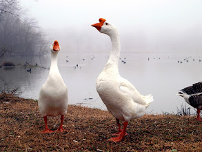 Photo: Gaggle of Geese