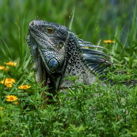 Blue Iguana by Glenn Forman - Animals Amphibians ( reptiles, squamata, lizard, iguanas, omnivore, iguana, wildlife, reptile, tropics )