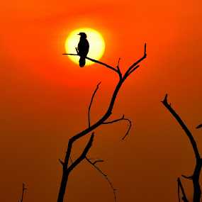Sunset with cormorent at Bharatpur by Vijay Singh Chandel - Landscapes Sunsets & Sunrises ( red sky, sunsets, sunset, birds, bird photography )