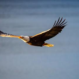 Bald Eagle at Sunrise by Craig Lybbert - Animals Birds ( flight, sunrise, eagle, bald, bald eagle, glide )