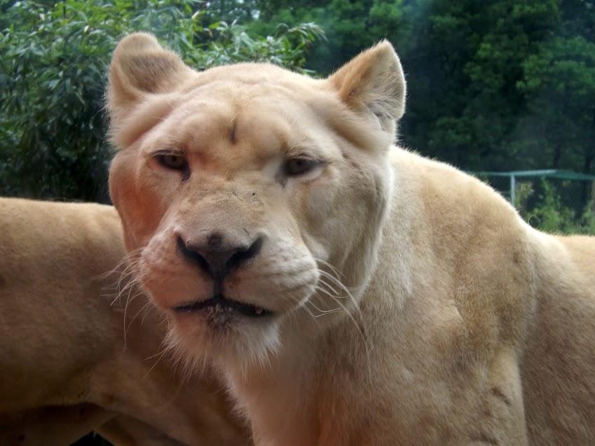 Lionne blanche, Jurques - Tous droits réservés