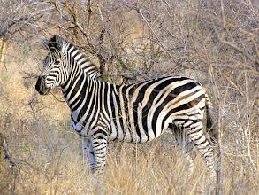 Photo: Kruger NP - zebra