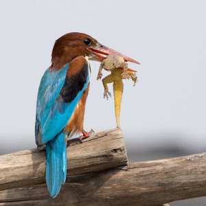 kingfisher with leazerd 4 pixoto (1 of 1).jpg