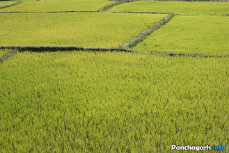 Photo: Paddy fields in Panchagarh