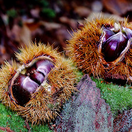 Chestnuts by Gérard CHATENET - Nature Up Close Other plants