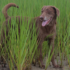 Dog in Marsh garss by Eric  Adamski - Uncategorized All Uncategorized ( laboradore, green, grass, chocolate lab, lab, brown, dog, mud, marsh, dog portrait,  )