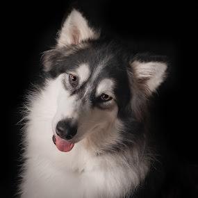 Talkeetna Alaskan Malamute by Stuart Partridge - Animals - Dogs Portraits ( stuart partridge, d610, nikon, dog, malamute )