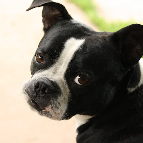 Sweet Princess by Leslie Hendrickson - Animals - Dogs Portraits ( boxer dog, dog portrait, dog,  )